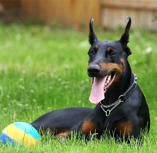 Camisetas Doberman