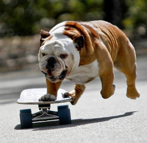 Bulldog en patinete